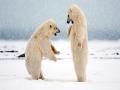 Henderson Polar Bear # 1